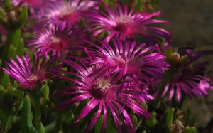 summer, macro, mesembryanthemum, nature, plants, garden, flora, flowers