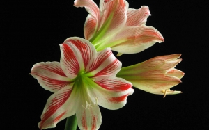 amaryllis, spring, hippeastrum, beauty, may, nature, plants, flora, flowers