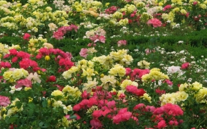 spring, shrubs, May, park, nature, plants, roses, flora, flowers