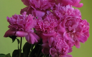 spring, greeting, peonies, plants, flora, flowers,