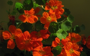 Spring, nasturtium, nature, plants, flora, flowers