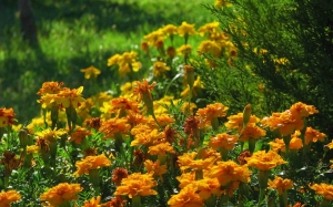 marigold, summer, nature, plants, gardens, tagetes, flora, flowers