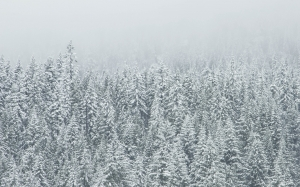 snow, forest, trees, winter, fog, foggy, coniferous, conifers, evergreen, fir, landscape