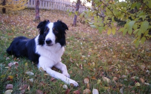animals, nature, dogs, autumn, leaves, grass, pets