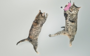 jumping, cute, playing, animals, pets, cats, kitten