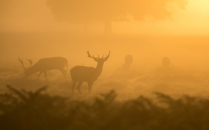 nature, animals, deer, morning, sunrise