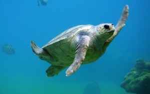turtle, animal, nature, water, underwater, sea, ocean