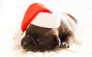 dog, christmas, xmas, bulldog, puppy