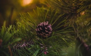 fir cone, pinecone, acorn, christmas tree, christmas, xmas, new year, holiday