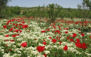 spring, flowers, herbs, poppies, trees, plantation