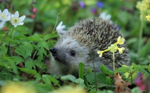 hedgehog, spring, animal, nature