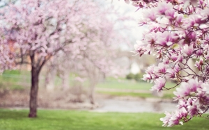magnolia trees, springtime, blossoms, spring, flowering tree, pink, may