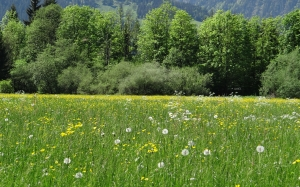 spring, meadow, grass, dandelion, landscape, trees, nature, forest, mountain