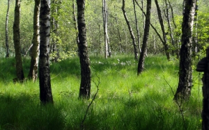 forest, birch, green, nature, june, grass