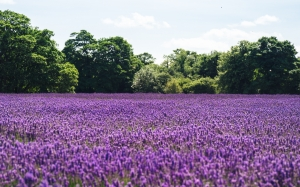 daytime, field, flowers, landscape, lavender, meadow, nature, summer, trees