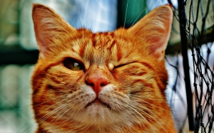 cat, wink, funny, fur, animal, red, cute, pet