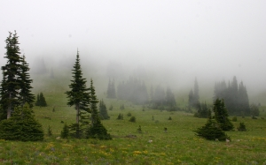 forest, abies lasiocarpa, meadow, mist, fog, morning, valley