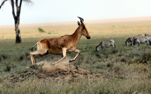 tanzania, wild nature, animals, in move, in motion