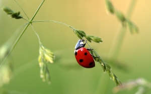 ladybug, beetle, coccinellidae, insect, nature, lucky charm, grass, macro