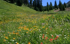 alpine meadow, uphill, mineral king valley, sequoia national park, california, indian paintbrush, asters, onions, yarrow
