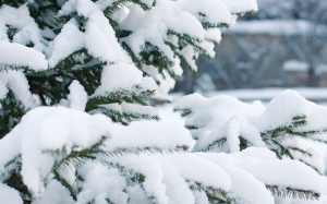 spruce, snow, branch, green, white, tree, winter, nature