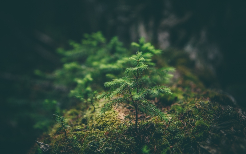spruce, forest, moss, nature, wood