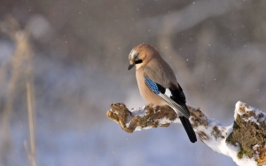 bird, konar, winter, nature, animals