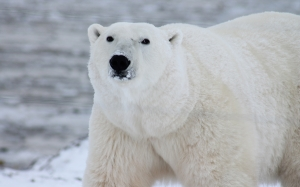animals, polar bear, snow, white, wildlife, nature
