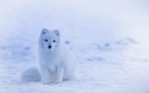 arctic fox, animals, wildlife, cute, winter, nature, snow, cold