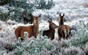 deer, animals, nature, wildlife, forest, mammal, cute, reindeer, winter, snow, trees, december, season