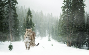persian leopard, leopard, snow, winter, forest, nature, animals, cat, snow leopard