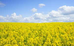 field, rapeseeds, oilseed rape, yellow, flowers, nature, landscape, summer, blossom, spring, flowers, agriculture, crops, brassica napus, brassicaceae