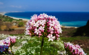 flower, nature, plant, pink flower, pink, spring, beach, close up