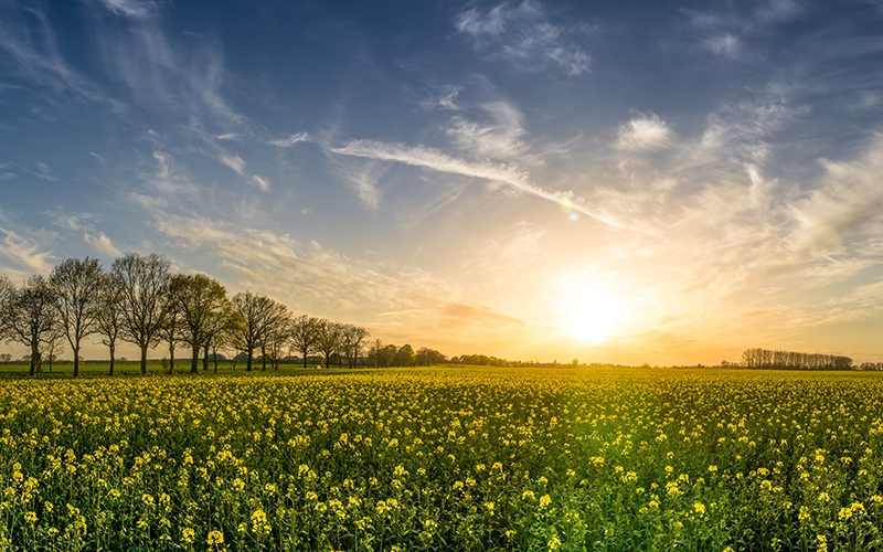 oilseed rape, field of rapeseeds, sunset, landscape, panorama, spring, nature, blossom, bloom, field, yellow, clouds, green, sky, blue
