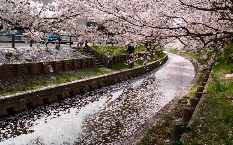 bloom, blossom, cherry, flowers, nature, spring, tree, city, river