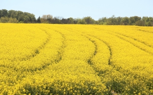 field, rapeseeds, bloom, yellow, spring, nature, may, agriculture, flowering plant, cruciferous plant, spring, agricultural crop