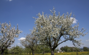 spring, sunshine, may, trees, fruit trees, apple trees, flowers, nature, landscape, meadow, sky