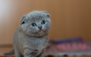 adorable, animal, cat, cute, furry, kitten, kitty, little, pet, portrait