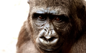 gorilla, monkey, animal, zoo, furry, portrait