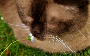 british shorthair, cat, animal, mieze, domestic cat, pet, furry, flower, cute