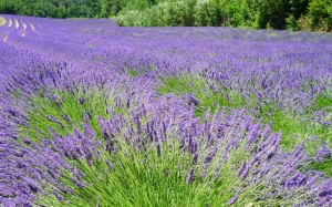 lavender, field, flowers, purple, blue, dunkellia, violet, nature, landscape, summer