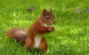 animal, mammal, squirrel, sciurus vulgaris major, foraging, garden, summer, grass, nature, cute