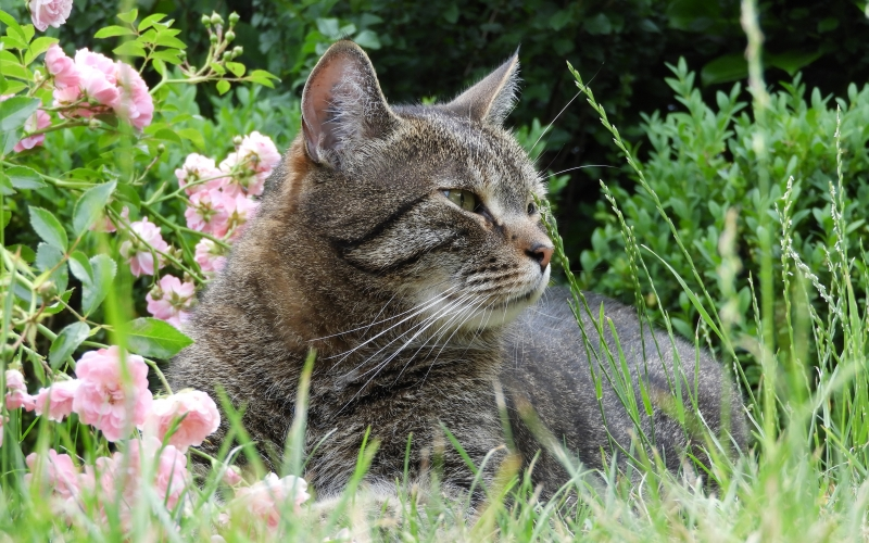cat, garden, pet, domestic cat, summer, nature, grass, animal