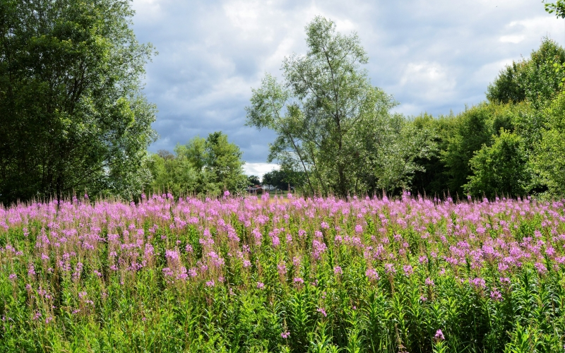 cloudy, day, field, flowers, forest, nature, outdoors, summer, nature, meadow, trees