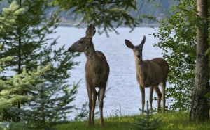 trees, deer, animals, mammal, lake, forest, nature, summer, shoreline, bank, landscape, scenic, countryside, wild life
