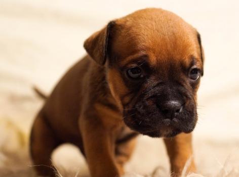 puppy, dog, pet, cute, brown, sitting, pedigree, animals, small, fur, bulldog