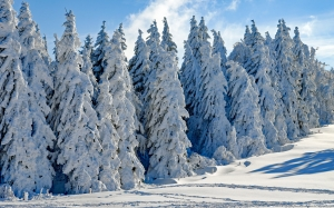 wintry, firs, snowy, winter, cold, advent, christmas, xmas, landscape, forest, landscape, sun, wood, white