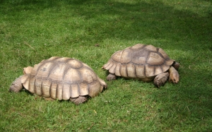 african spur thigh tortoise, geochelone sulcata, turtles, grass, animals, nature