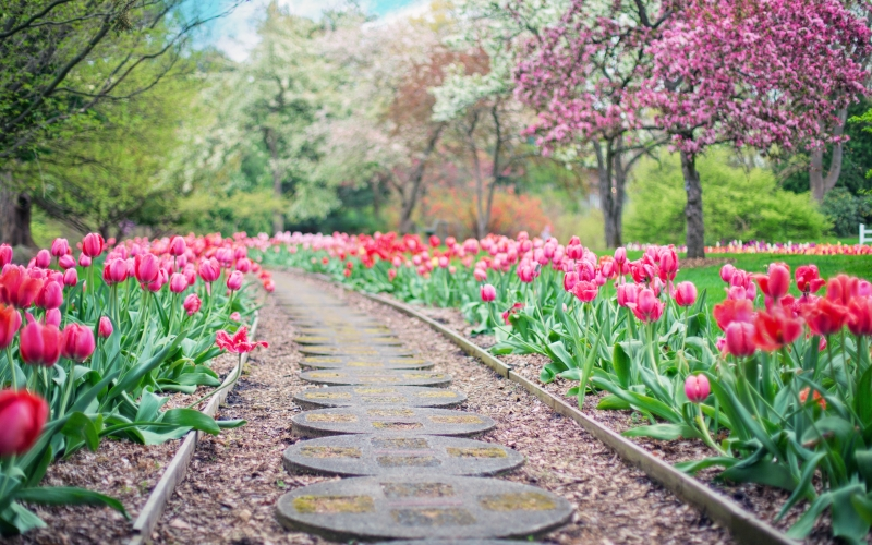 blooming, blossom, colors, flowers, garden, grass, growth, landscape, nature, outdoors, park, path, pathway, petals, pink tulips, season, spring, springtime, trees, tulips