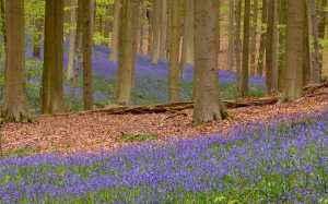 flora, flowers, forest, nature, outdoors, panoramic, rug, scenic, spring, trees, woods, blossom